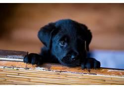 拉布拉多犬,狗,动物576049