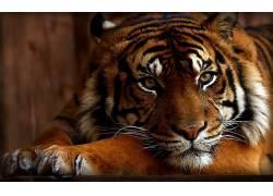 虎,动物480582