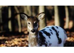 鹿,森林,花斑鹿,动物,性质439517