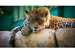 捷豹,美洲虎,动物,性质,大猫500748