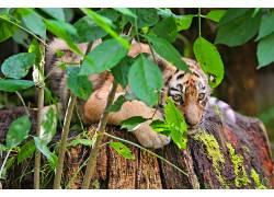 虎,植物,动物,大猫575275