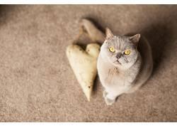 黄眼睛,猫,动物540845