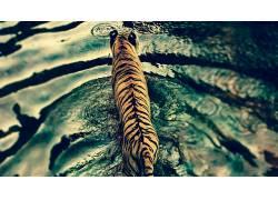 虎,水,野生动物497262