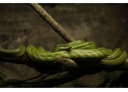 宏,蛇,爬行动物,科410340