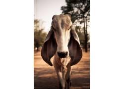 摄影,动物,牛,耳朵,看着观众382424