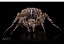 宏,蜘蛛,动物,500px的554891