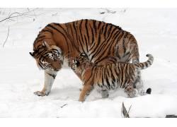 虎,野生动物,冬季,雪,性质678644