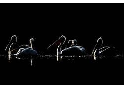 黑暗,动物,鸟类,鹈鹕674896