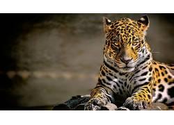 豹,豹(动物),动物,大猫,美洲虎592295