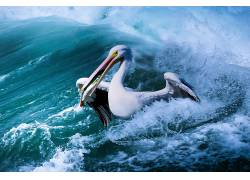 动物,鸟类,海,性质,鹈鹕670337