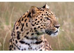 豹,野生动物,大草原,动物453466