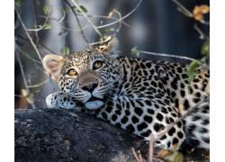 豹(动物),大猫,动物427114