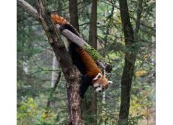 性质,动物,树木,路,红熊猫405655