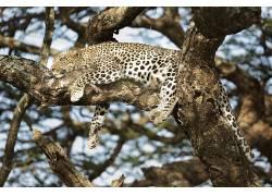 豹(动物),大猫,动物655738