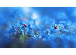 瓢虫,昆虫,蓝色,花卉,植物,动物654318