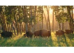 性质,动物,水牛,阿尔伯塔,加拿大,国家公园,太阳光线,树木,领域,