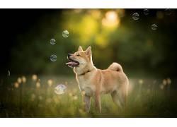 狗,性质,泡泡,舌头,动物533393