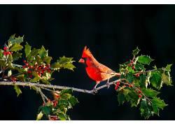 性质,动物,浆果,鸟类,红雀542717