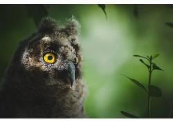 动物,鸟类,猫头鹰453603