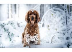 狗,性质,雪,动物620561