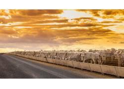 路,天空,华美,牛,动物,篱笆605823