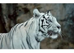 白老虎,动物563634