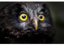 动物,鸟类,羽毛,特写,喙,Tanja Brandt,猫头鹰598535