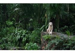 白老虎,虎,大猫,性质,动物,森林,树木,绿色481252