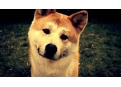 狗,柴犬,看着观众,动物392096