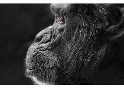 选择性着色,面对,轮廓,动物,类人猿552428