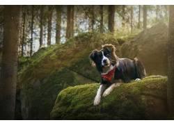 狗,森林,边境牧羊犬,摄影,动物500189