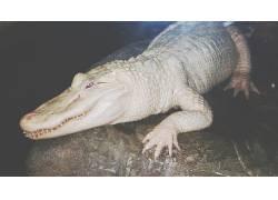 白色,鳄鱼,爬行动物,白化病400378