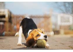 狗,球,动物,小动物,播放,小狗574109