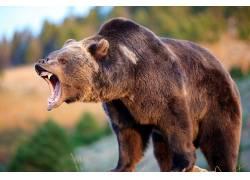 野生动物,动物,熊,大灰熊,灰熊597299