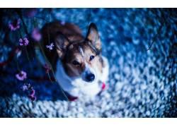 狗,看着观众,模糊,粉色的花朵,柯基犬,动物396127