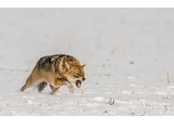 野生动物,动物,狼,雪,性质618730