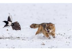 野生动物,动物,雪,性质,鸟类,狼618716