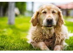 狗,草,眼睛,动物378635