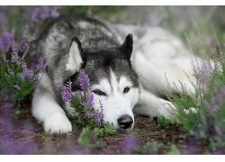 狗,西伯利亚雪橇犬,动物,花卉672342