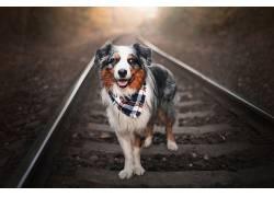 狗,铁路,动物625270