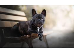 狗,长凳,动物,法国斗牛犬575839
