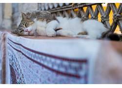 睡眠,猫,动物676534