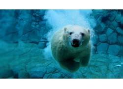 野生动物,水下,北极熊486838