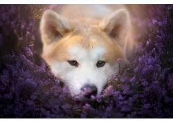 植物,花卉,狗,动物,紫色的花朵492170