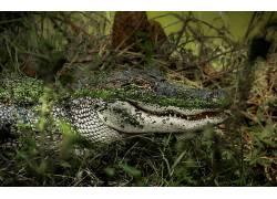 短吻鳄,爬行动物,动物416456
