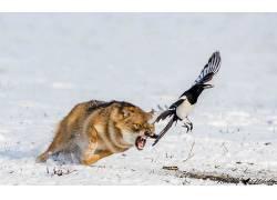野生动物,狼,动物,鸟类,性质,欧洲喜鹊618647
