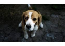 狗,面对,动物,比格犬556497