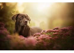 植物,花卉,狗,拉布拉多犬,动物581281