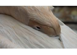 野生动物,眼睛,鹈鹕,动物454917