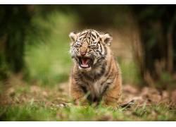 野生动物,虎,景深462688